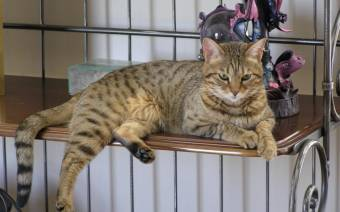 Great Lakes Bengal Rescue